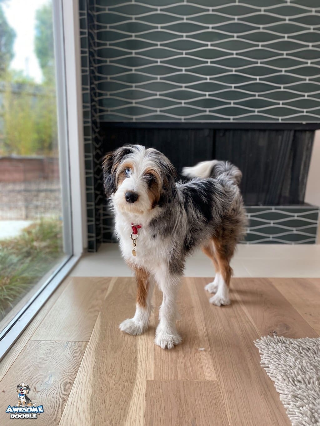 blue merle aussiedoodle with two blue eyes and copper