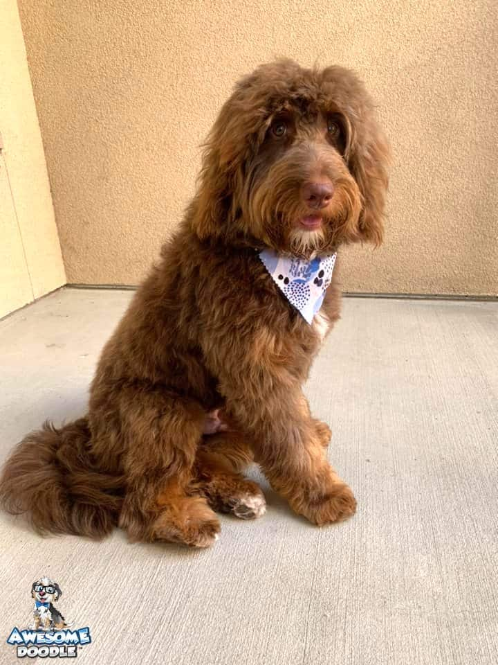 red phantom aussiedoodle with white and copper