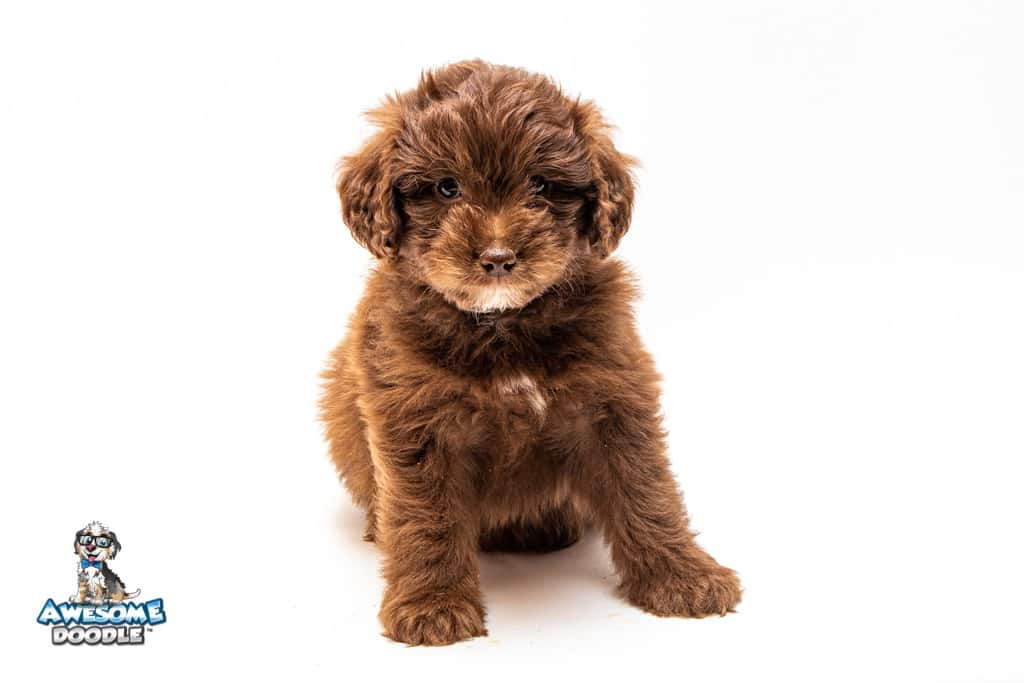 red aussiedoodle puppy