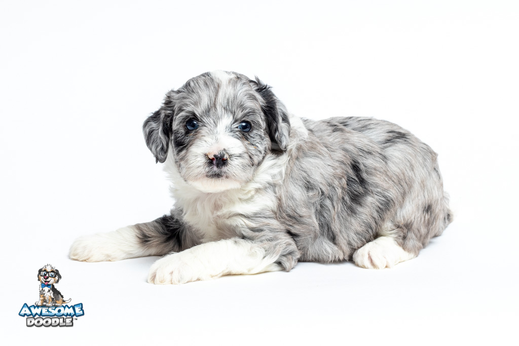 4 week old aussiedoodle puppy