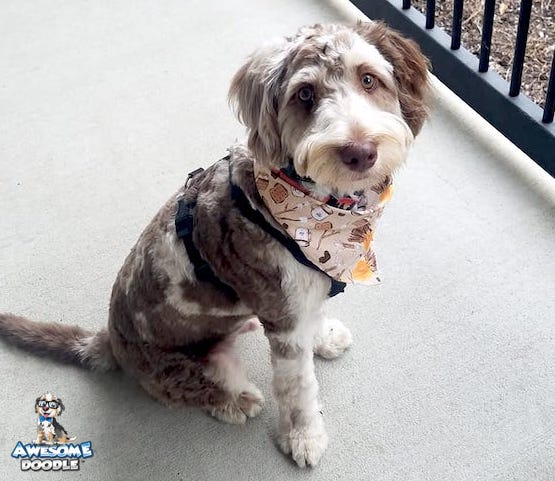 red merle aussiedoodle adult