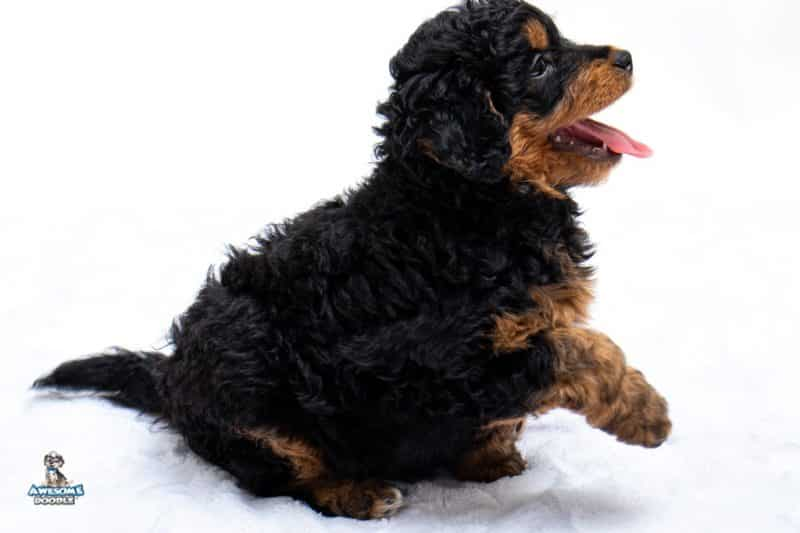 Aussiedoodle puppy atlanta GA
