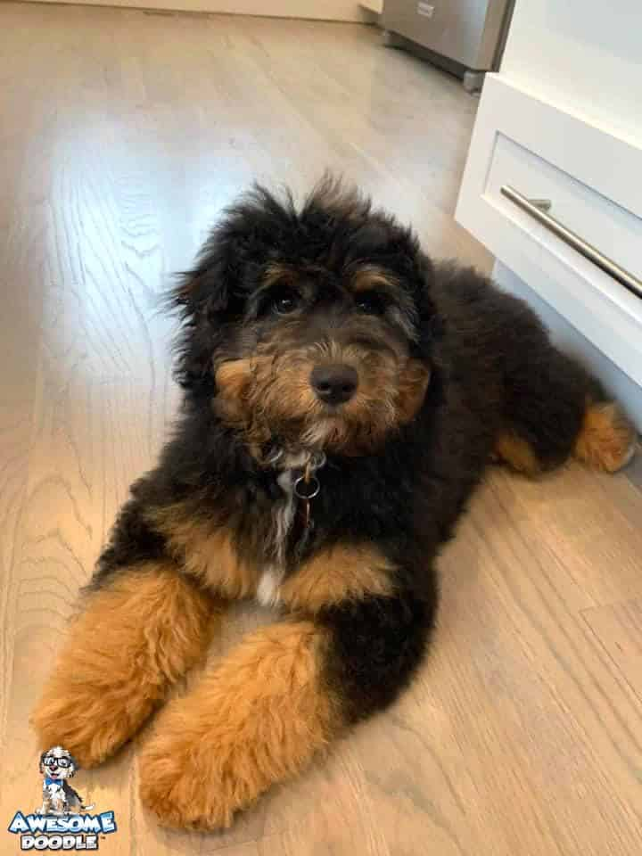 phantom aussiedoodle with white chest