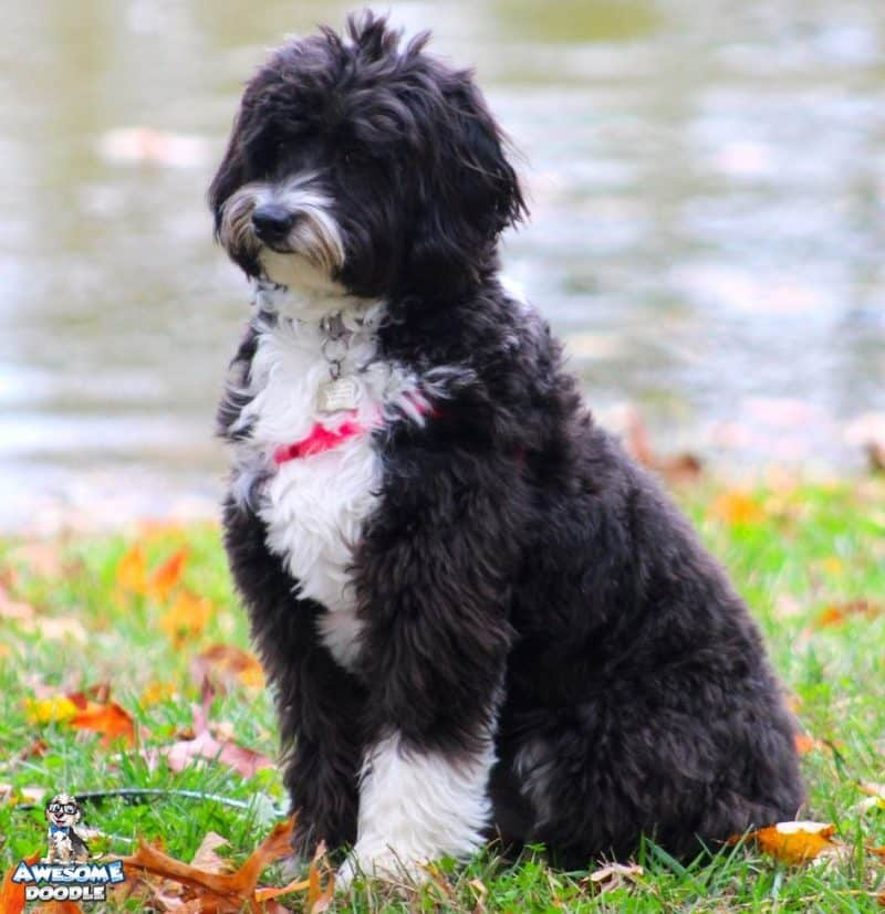 black and white adult aussiedoodle