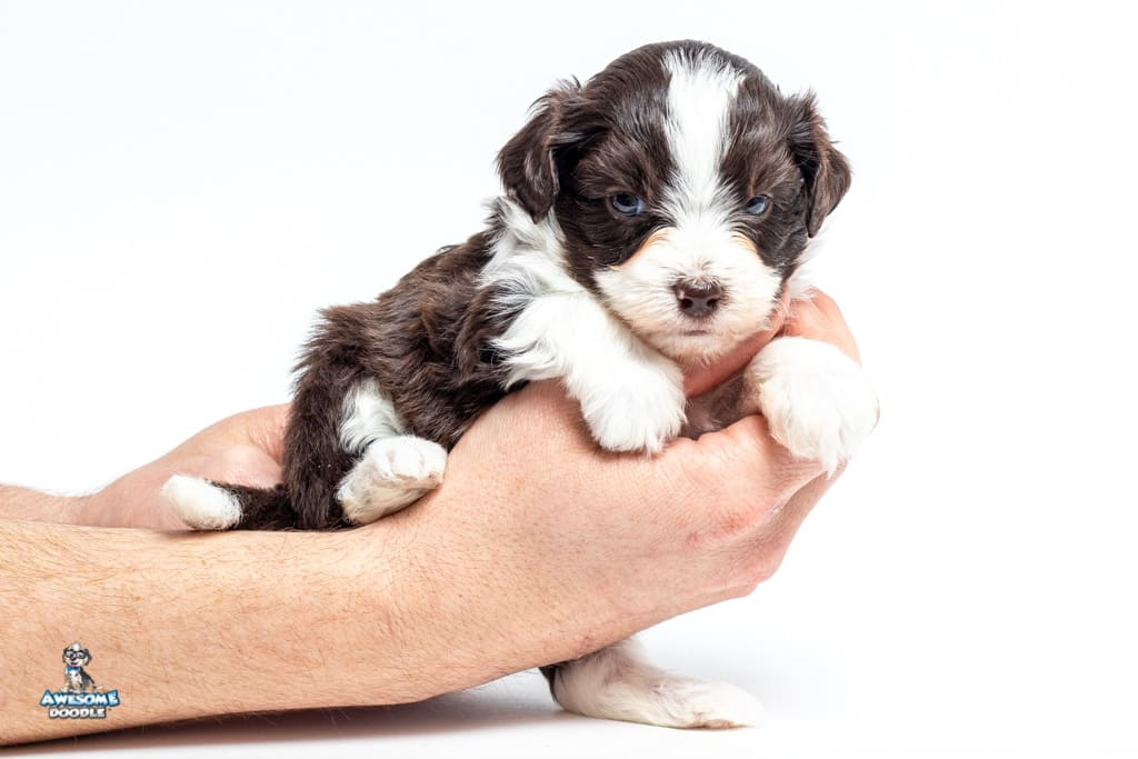 toy aussiedoodle