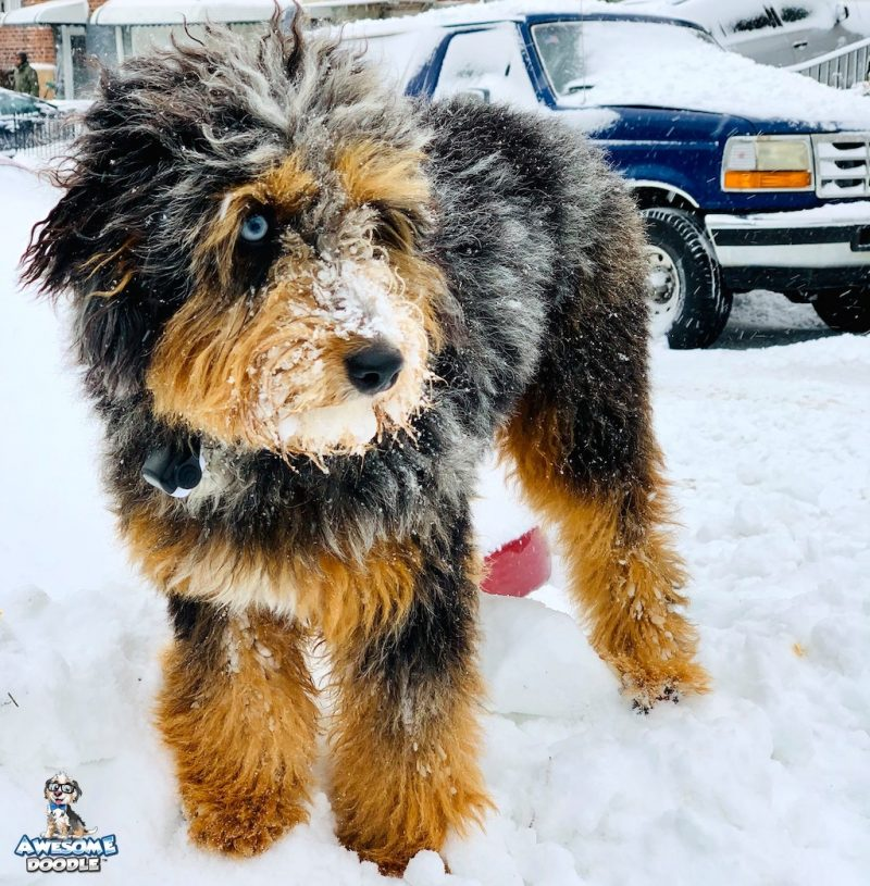 blue merle phantom aussiedoodle with one blue eye in the snow