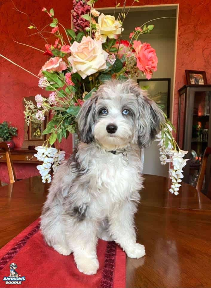 blue merle aussiedoodle with two blue eyes