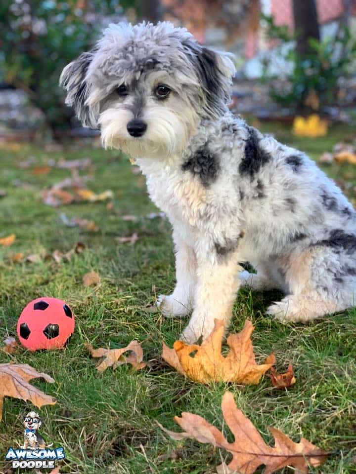 blue merle aussiedoodle with copper