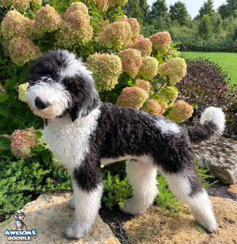 black and white adorable sheepadoodle