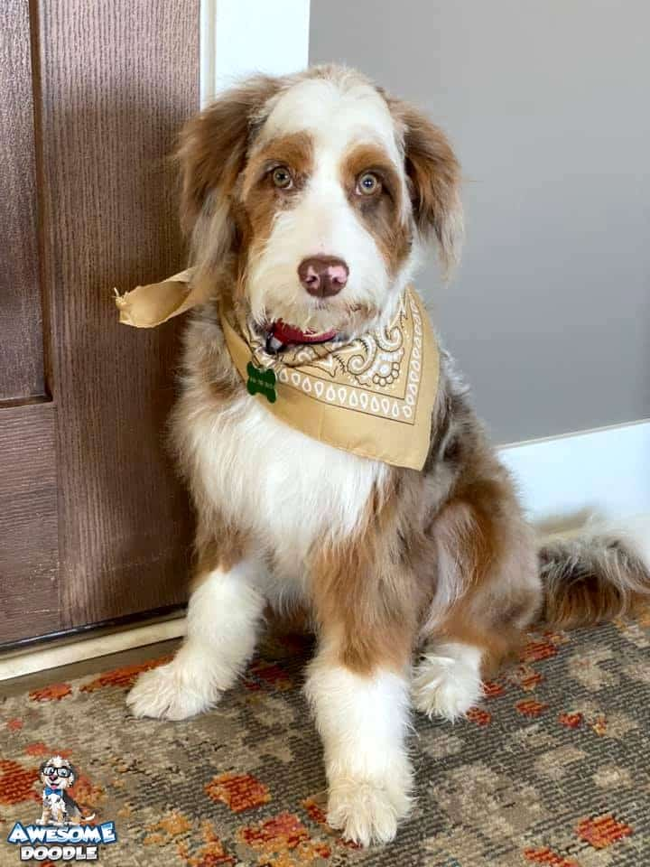 red merle aussiedoodle with colored eyes