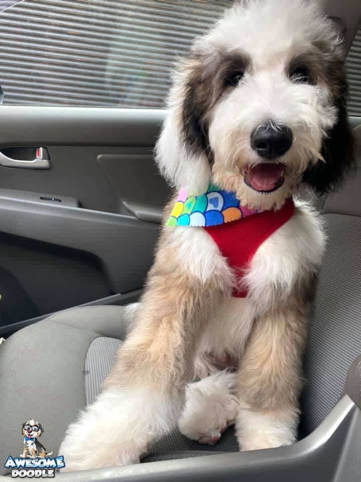 fluffy sheepadoodle puppy