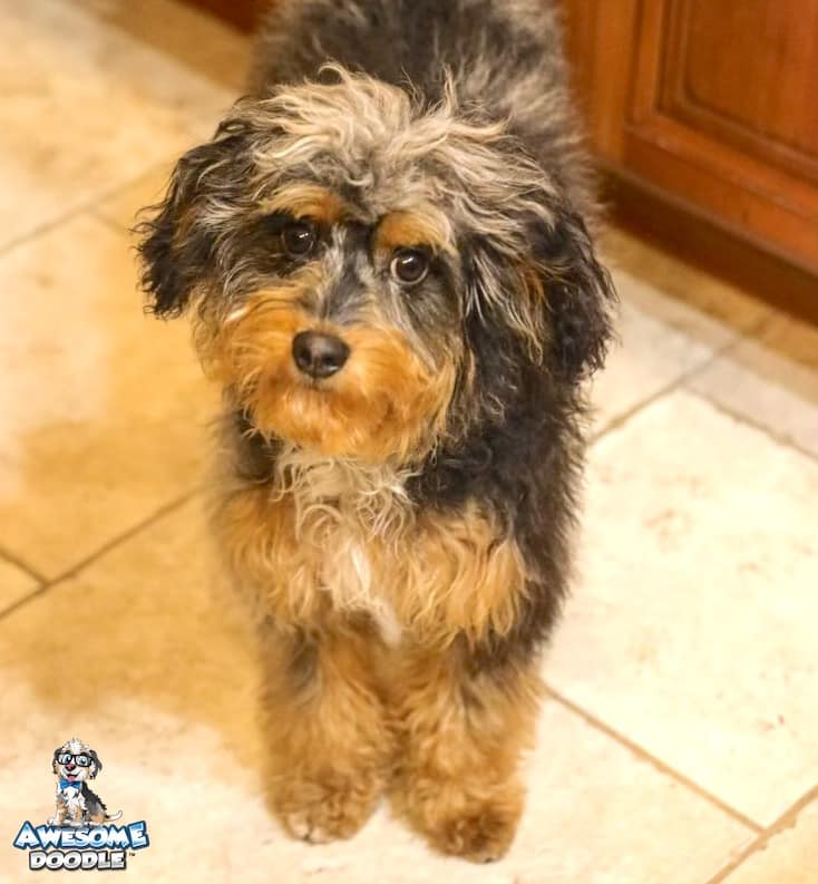 blue merle phantom aussiedoodle with white chest
