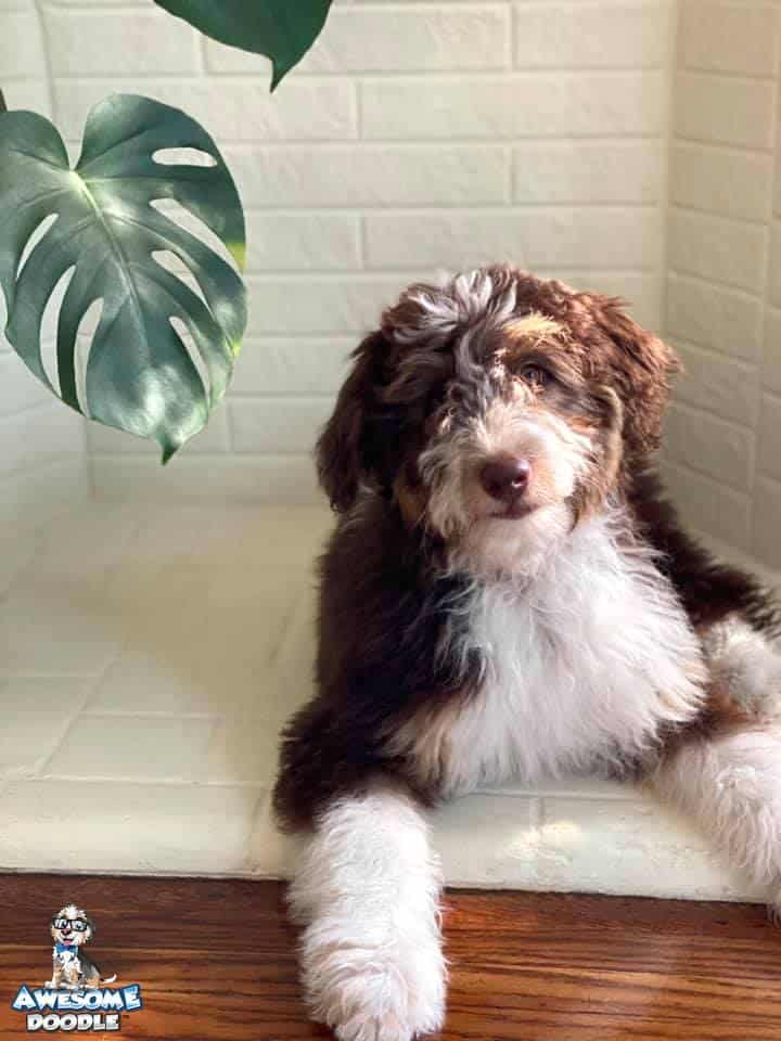 fluffy red bi aussiedoodle puppy with copper