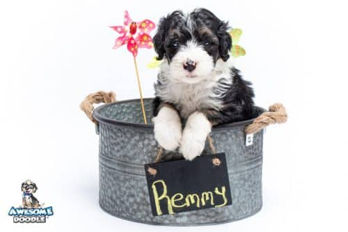 Tri color Sheepadoodle puppies available