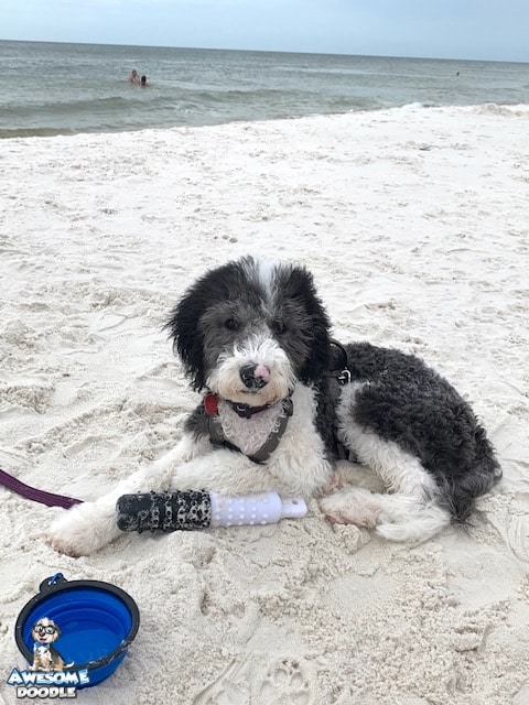 black and white sheepadoodle puppy at the beach