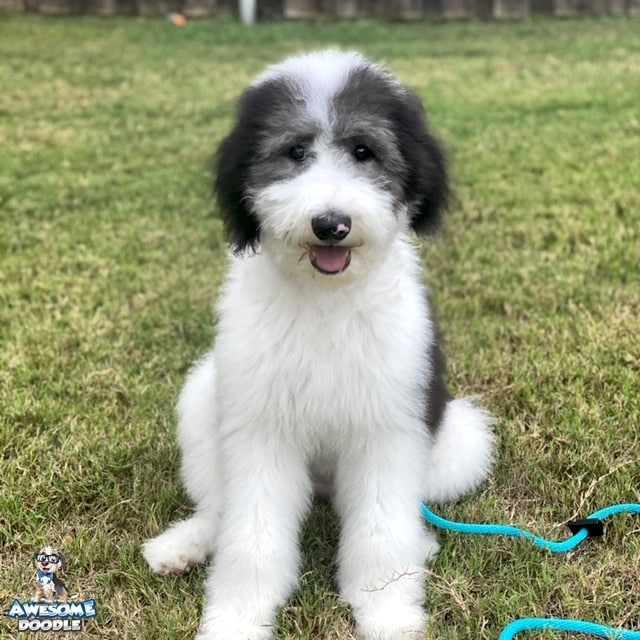 fluffly black and white sheepadoodle puppy