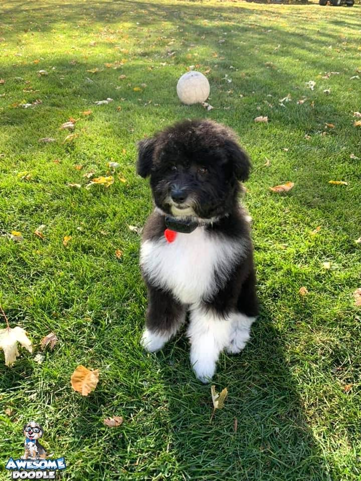 black and white aussiedoodle puppy with white chest