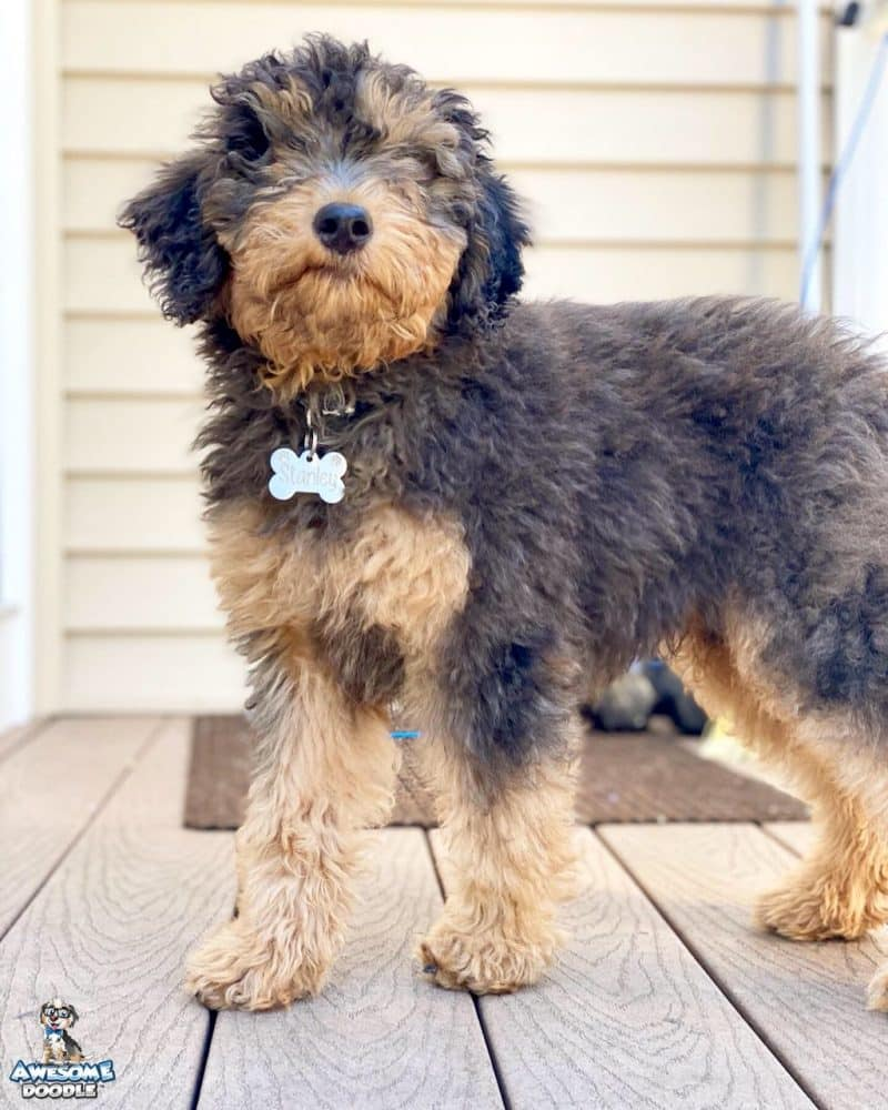 aussiedoodle puppy with dark blue merle coloring and copper