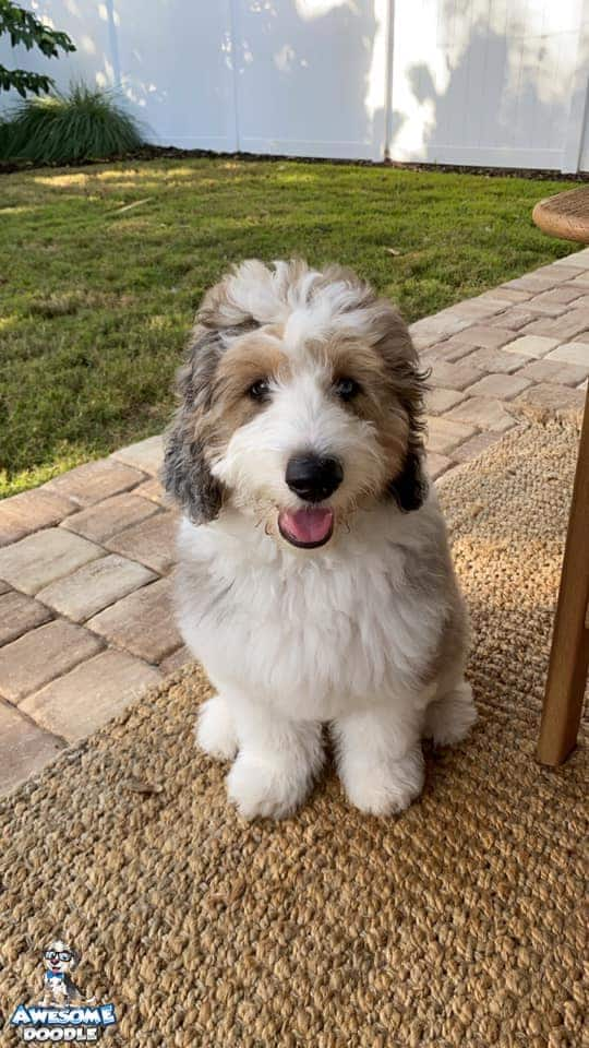 blue merle aussiedoodle puppy with copper