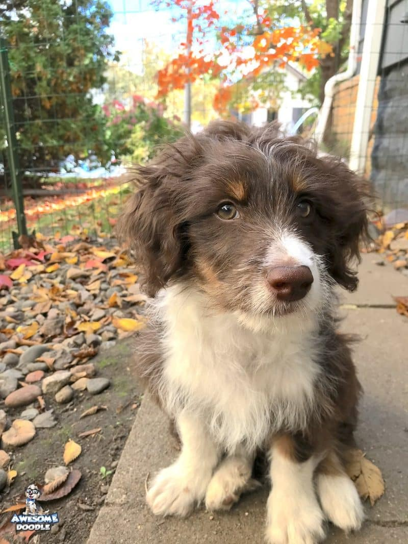 red tri aussiedoodle with white chest in the fall
