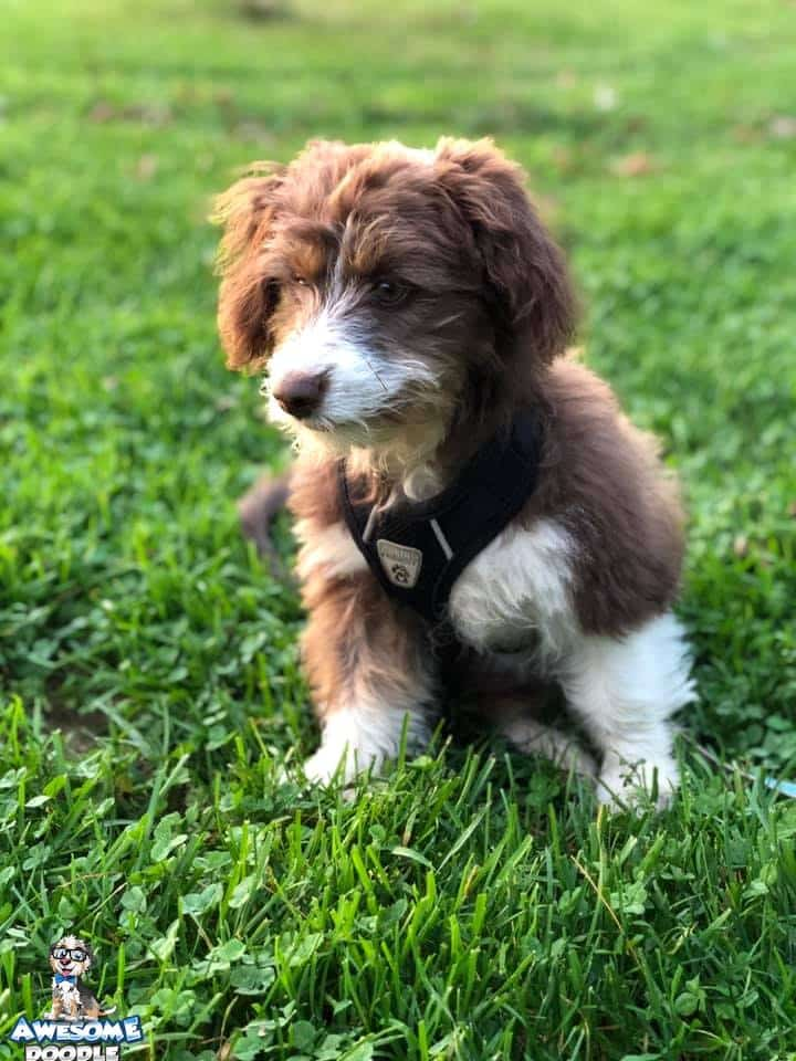 aussiedoodle puppy with red white and copper