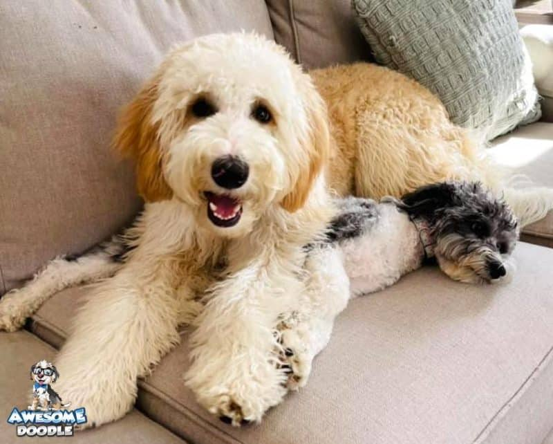 apricot bernedoodle puppy sitting with aussiedoodle sibling