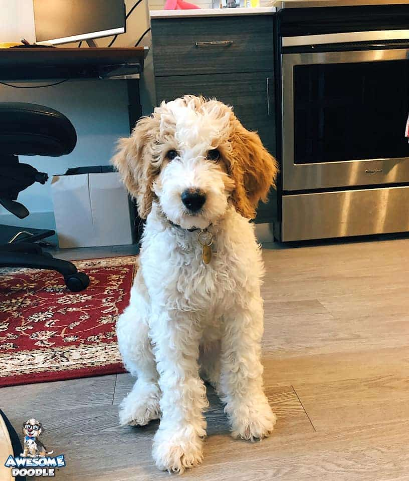 apricot cream and white bernedoodle puppy