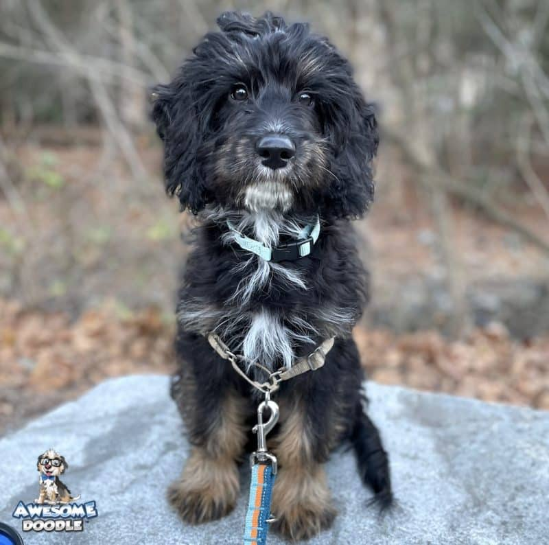 black phantom aussiedoodle puppy with a white chin