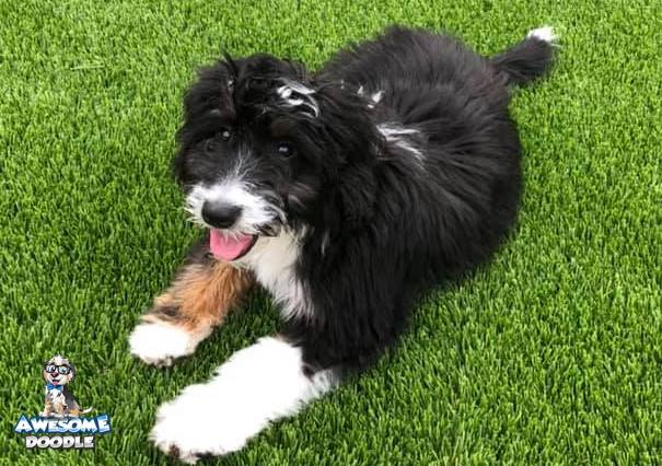 tri colored aussiedoodle