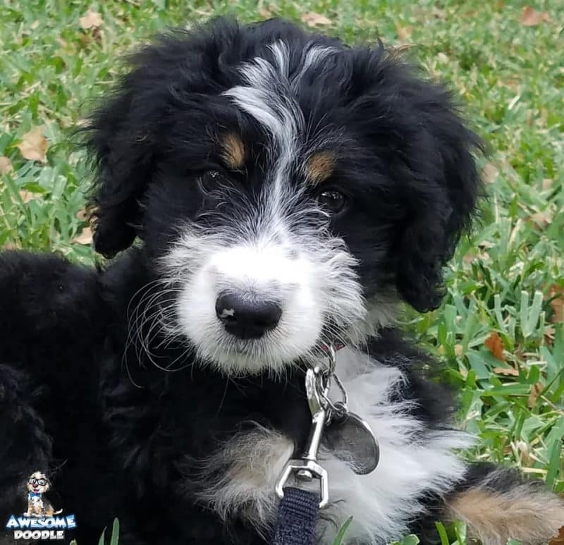 black tri bernedoodle puppy with copper