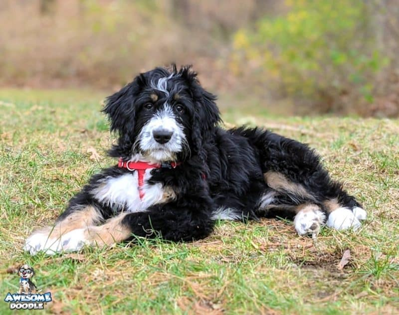 bernedoodle puppy black tri with copper