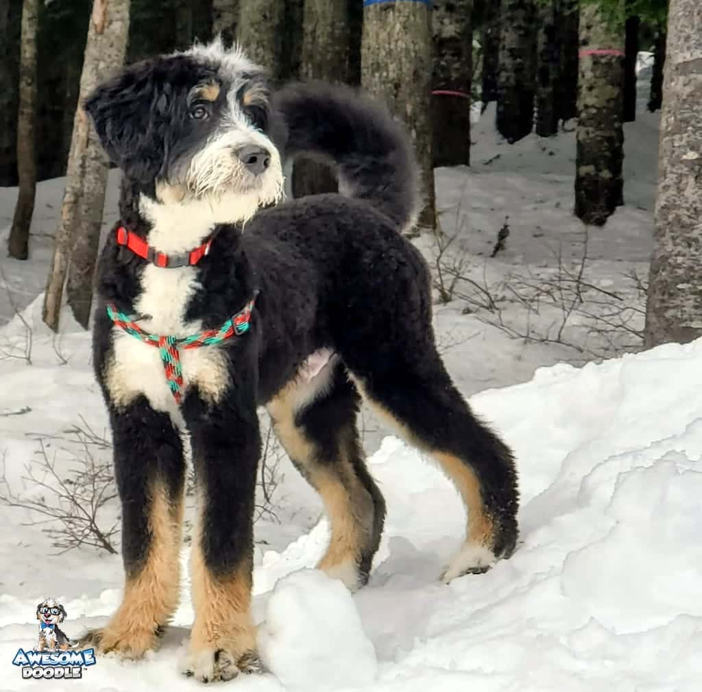 black tri bernedoodle in the snow