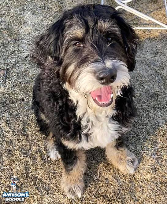 black tri bernedoodle with a white chest