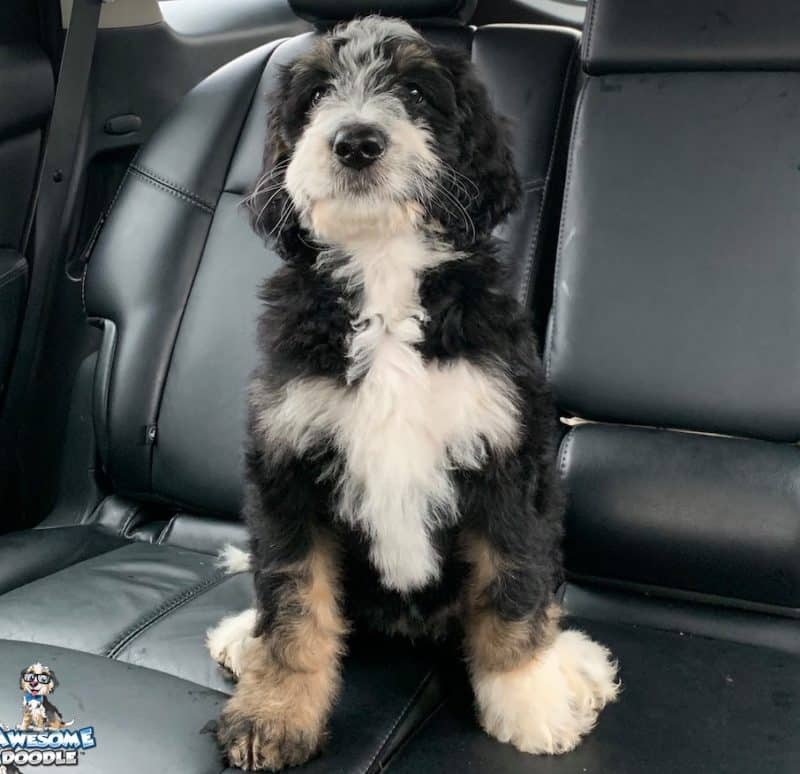bernedoodle puppy black tri