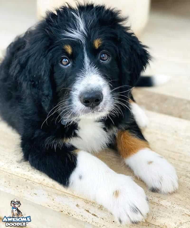 black tri bernedoodle puppy