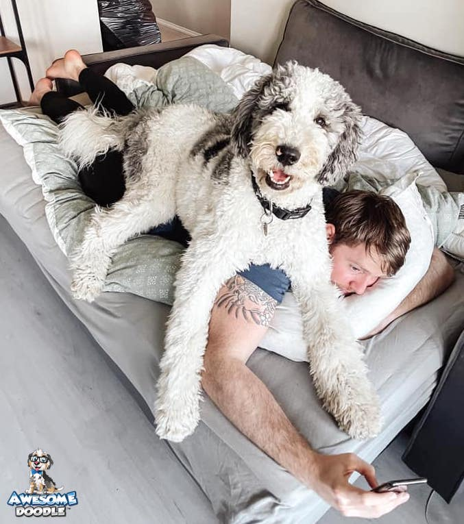 blue merle with white bernedoodle with human
