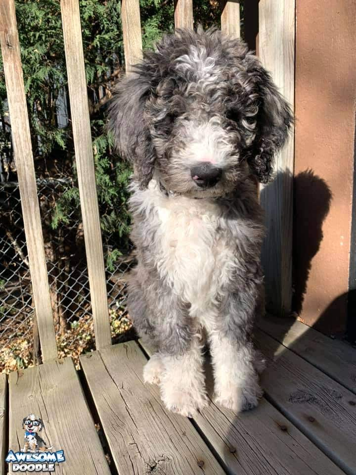 blue merle bernedoodle puppy