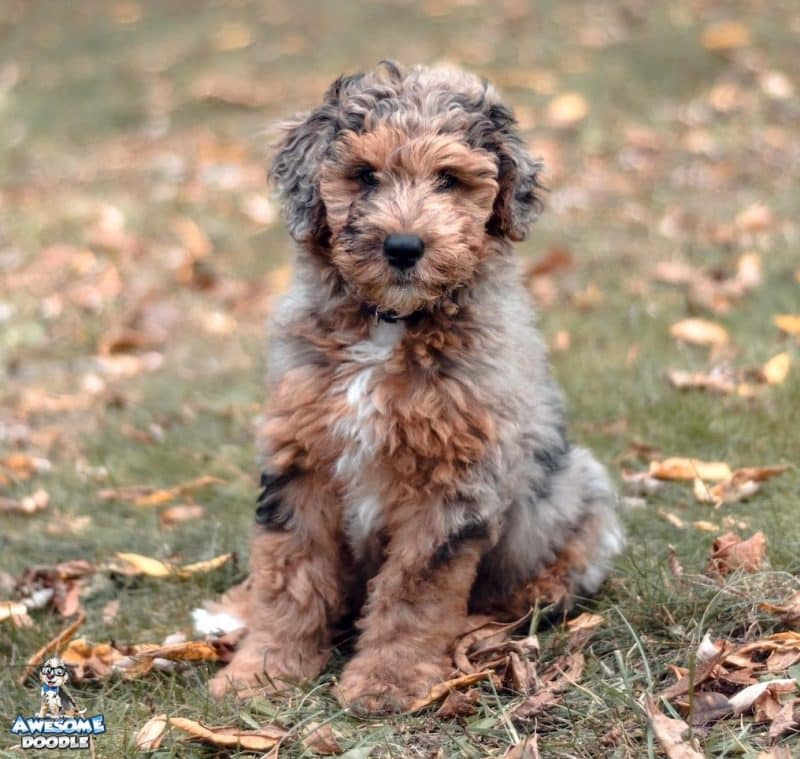 aussiedoodle puppy blue merle phantom with white chest
