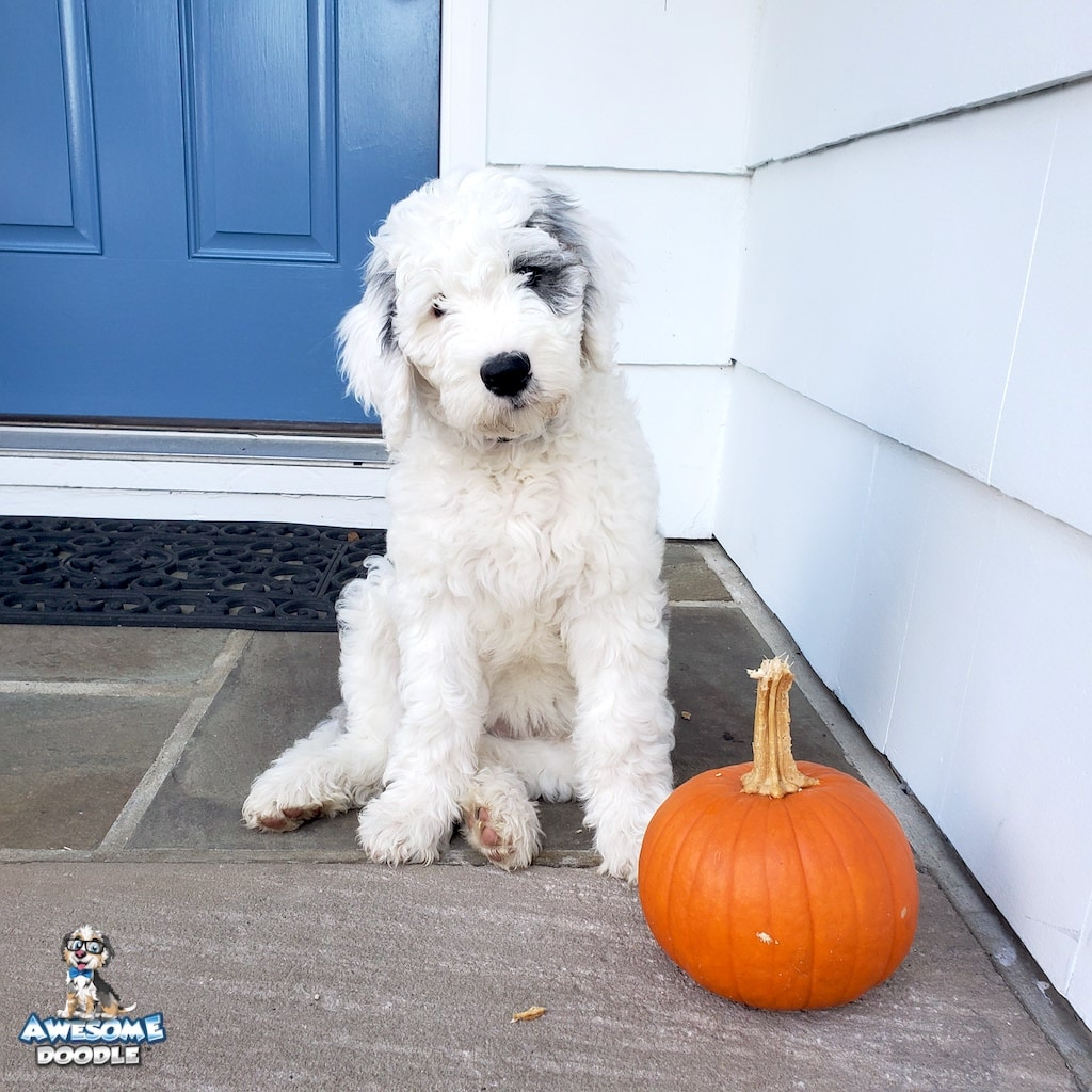sheepadoodle puppy blue merle with white