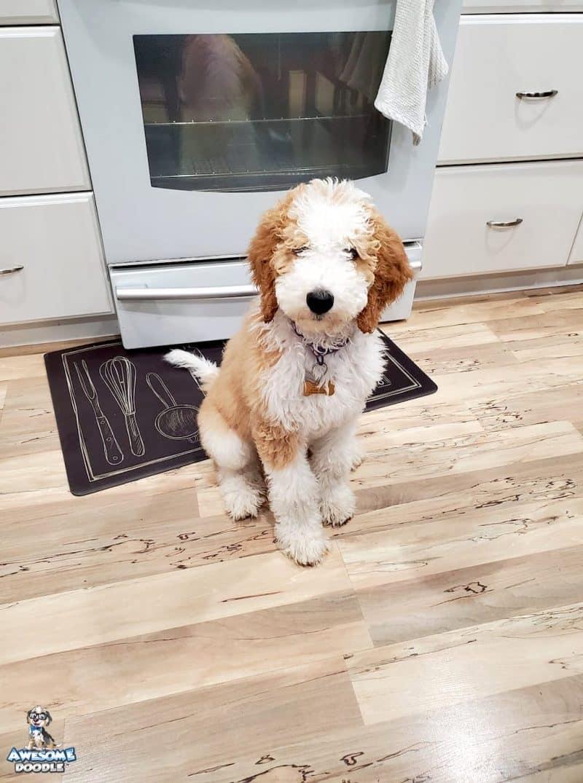 cream apricot f1b bernedoodle puppy
