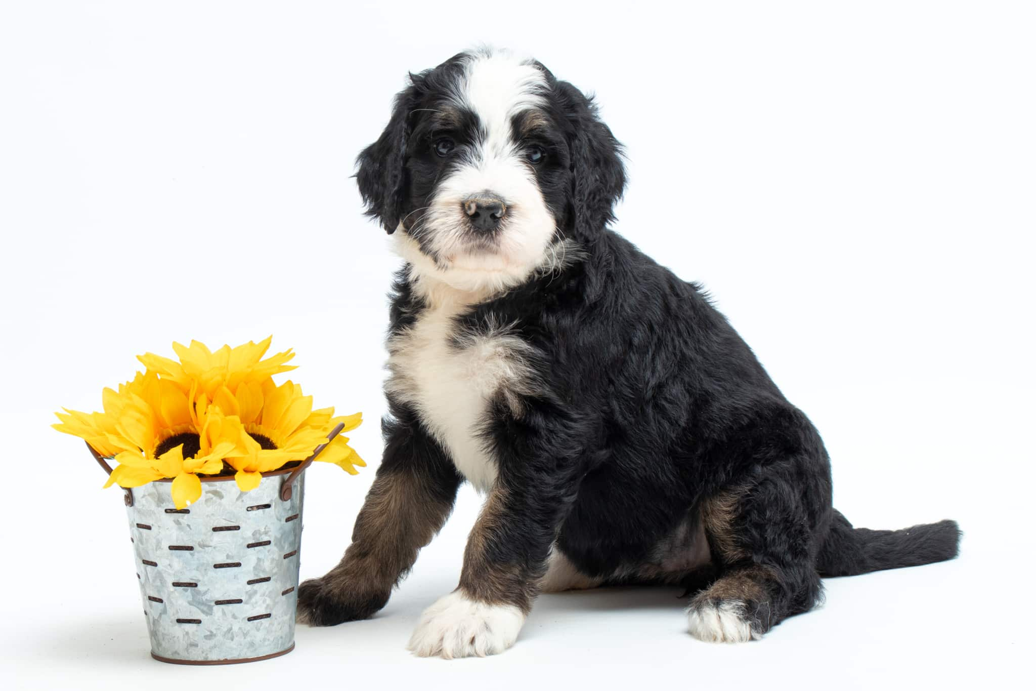 bernedoodle puppy