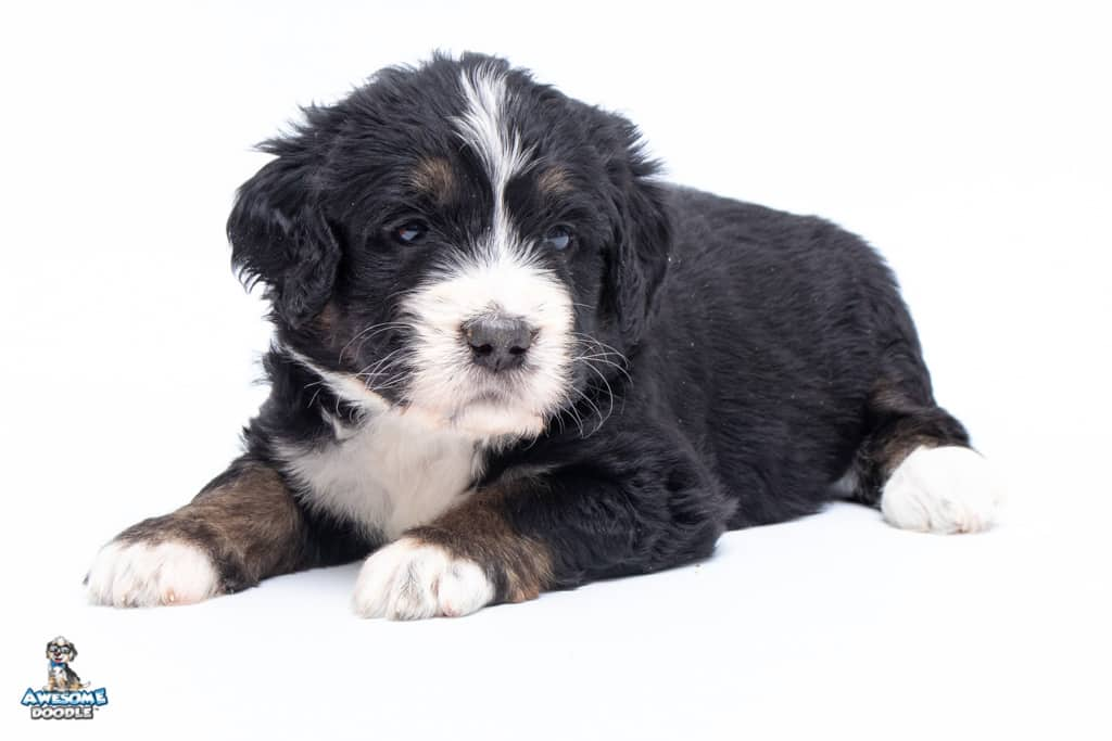 available bernedoodle puppy