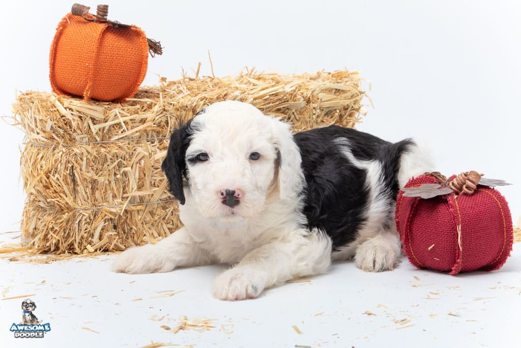 available sheepadoodle puppy