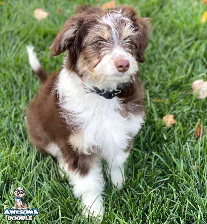 red tri color aussiedoodle puppy