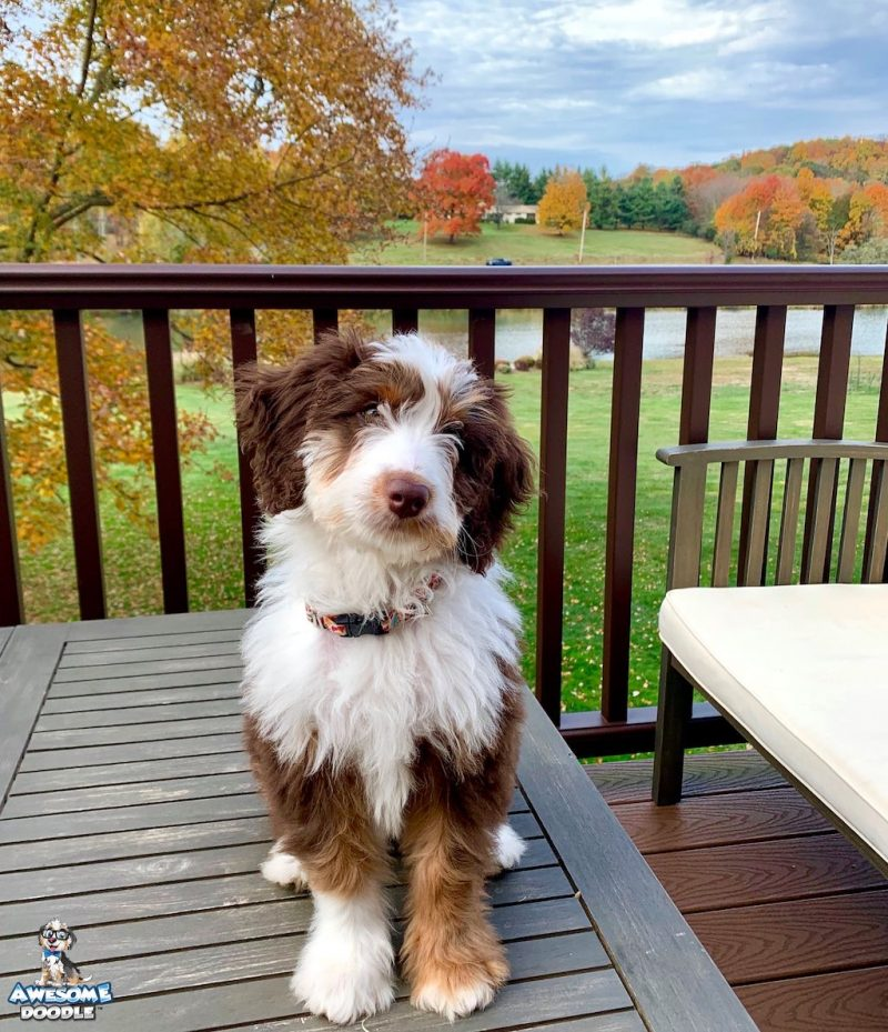 red tri aussiedoodle puppy with copper points