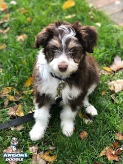 red tri colored aussiedoodle puppy