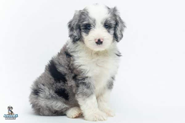 blue merle aussiedoodle with white