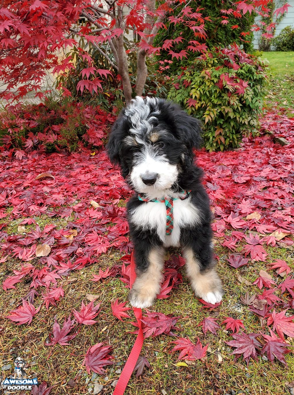 black tri bernedoodle puppy in the fall