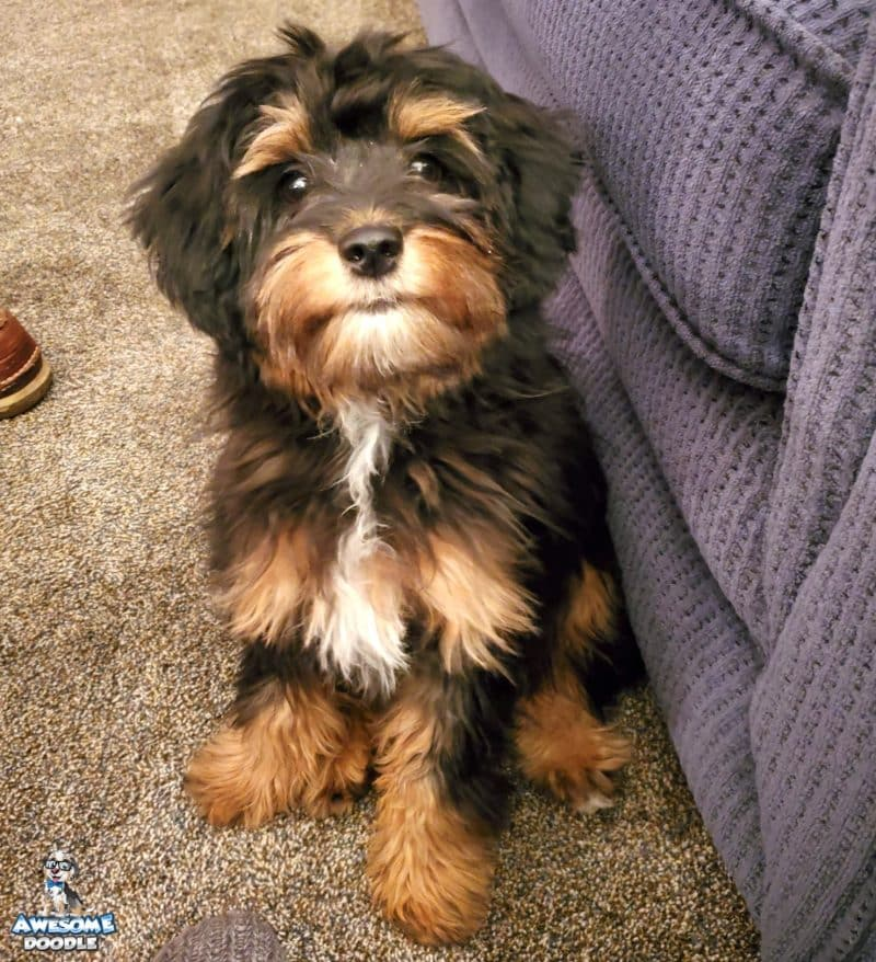 black phantom aussiedoodle puppy with white chin and chest