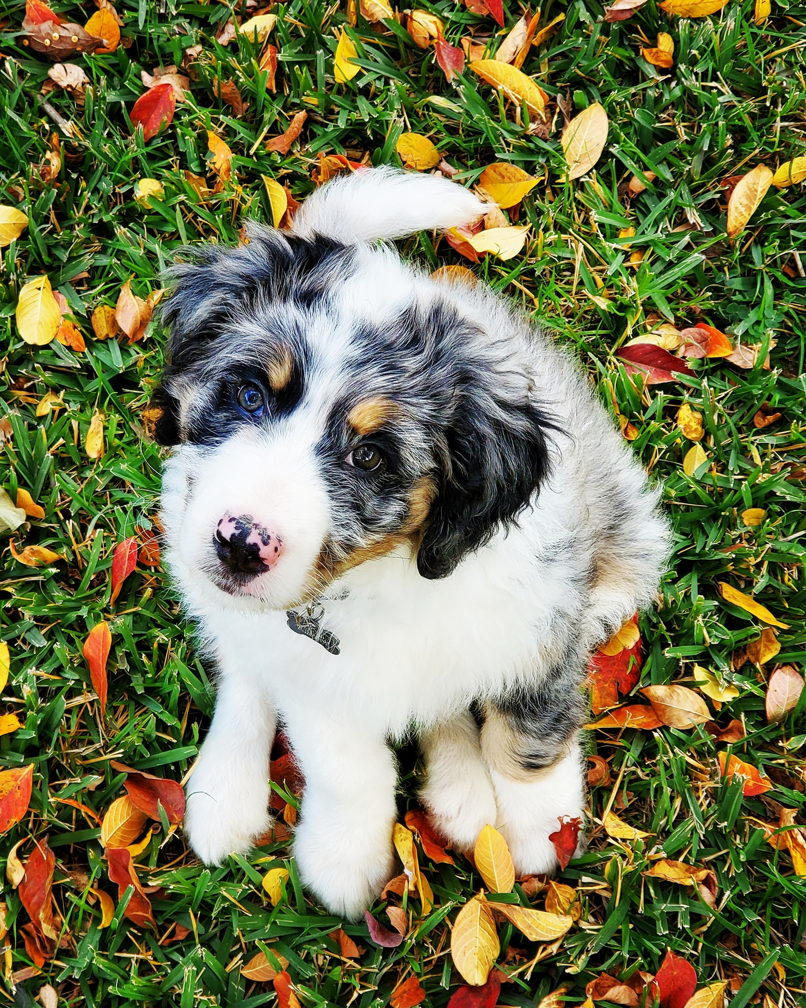 blue merle aussiedoodle puppy with copper and white chest